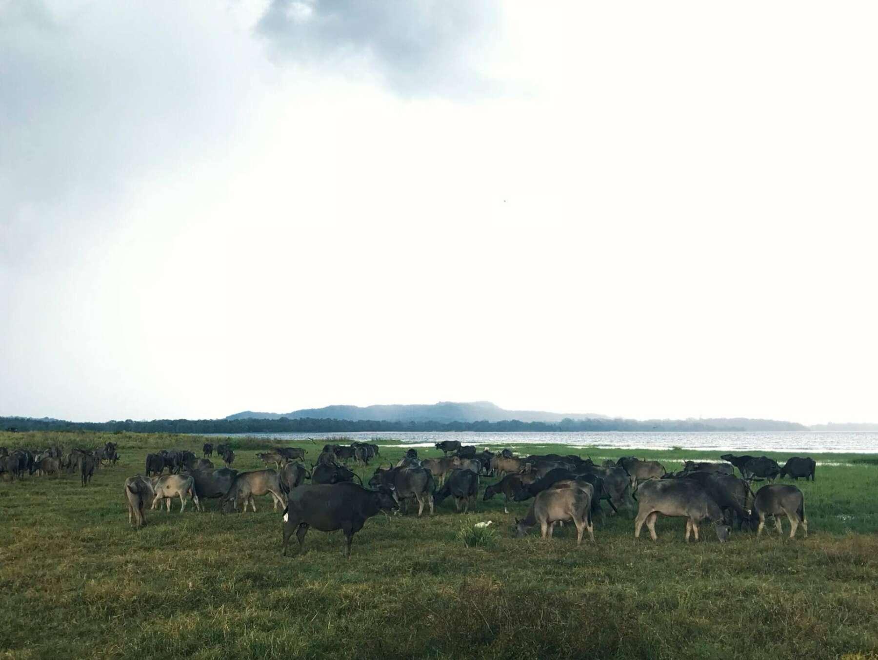 อุทยานแห่งชาติมินเนอริยา (Minneriya National Park) สิกิริยา